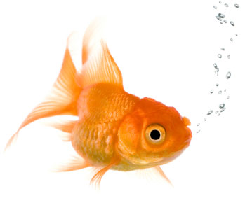 beautiful gold fish blowing bubbles